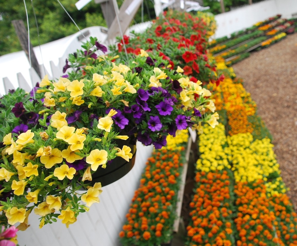 Yellow Hanging Baskets