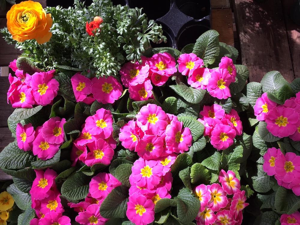 primrose and ranunculus
