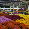 Mums in All Shapes, Colors and Sizes