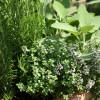 Starting a Windowsill Herb Garden