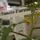Grafted Tomatoes: Delicate Heirlooms Made Hardy