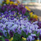 Pansies Pave the Path to Spring