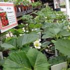 Harvest Fresh Strawberries from Your Backyard
