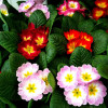 What Makes Primroses So Prim?