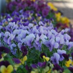 Beat the Winter Blues with Pansies!