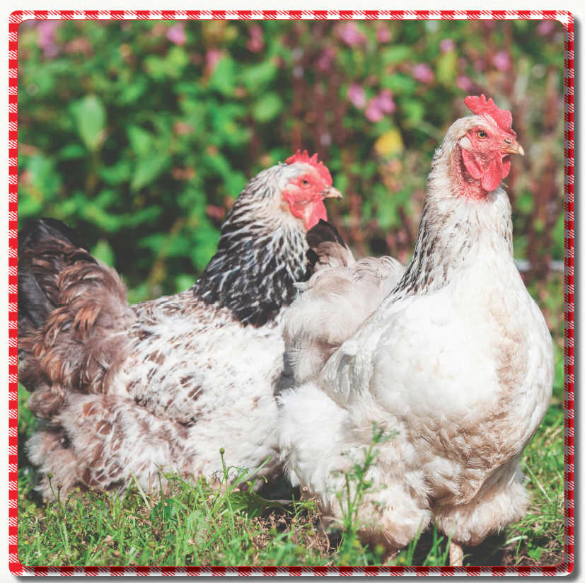 Free-range meat from Canter Hill Farm
