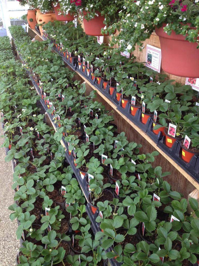 strawberry plants (2)