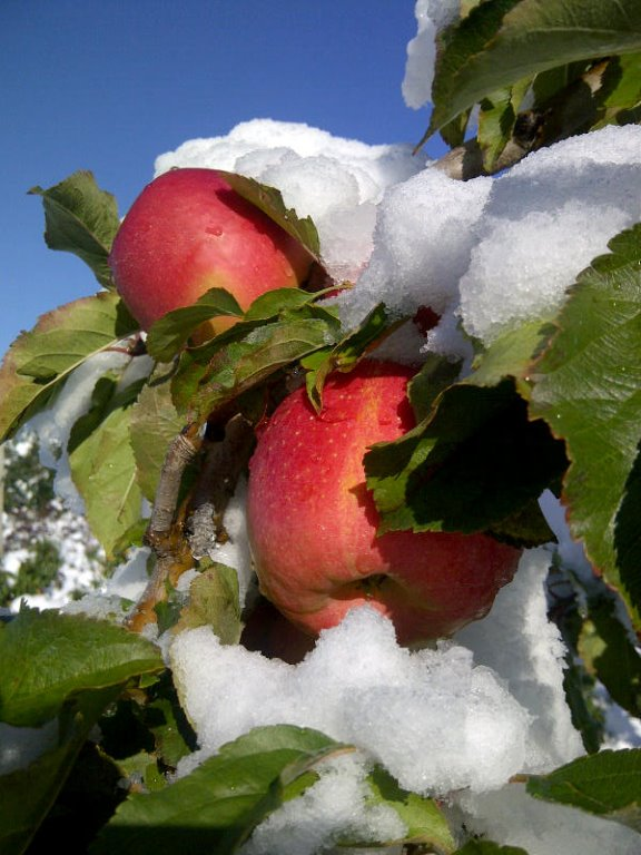 Pink Lady in the Snow - 2011- Courtesy of Weaver's Orchard