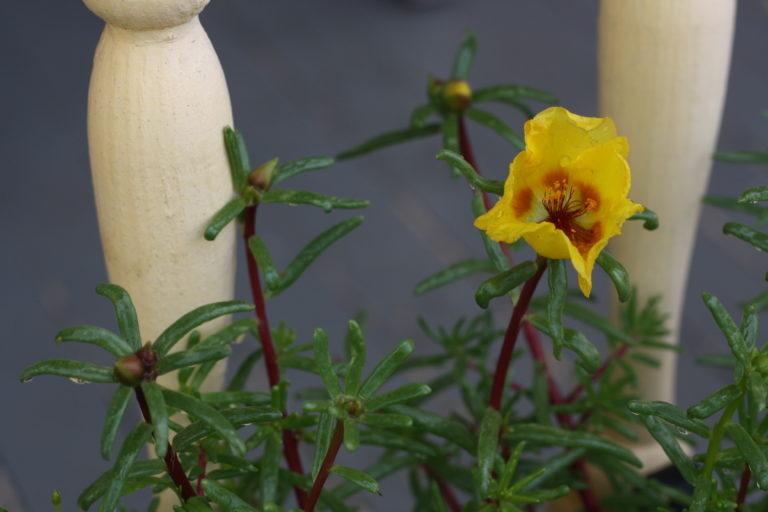 yellow-portulaca