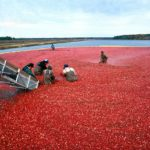 Harvesting cranberries